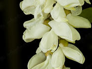 Foraging Black Locust Flowers